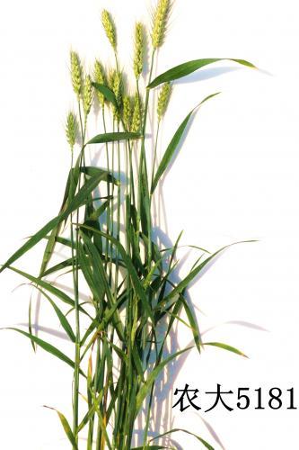 抗旱、高产、耐盐碱小麦新品种农大5181