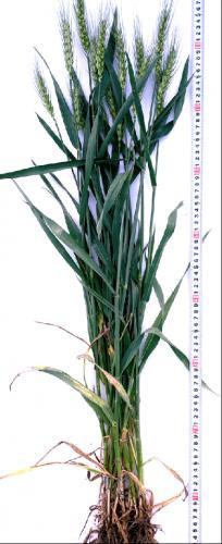 原种级提纯繁育、早熟、大穗小麦品种河农6425