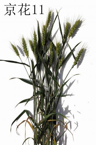 早熟、国审、优质小麦品种京花11号